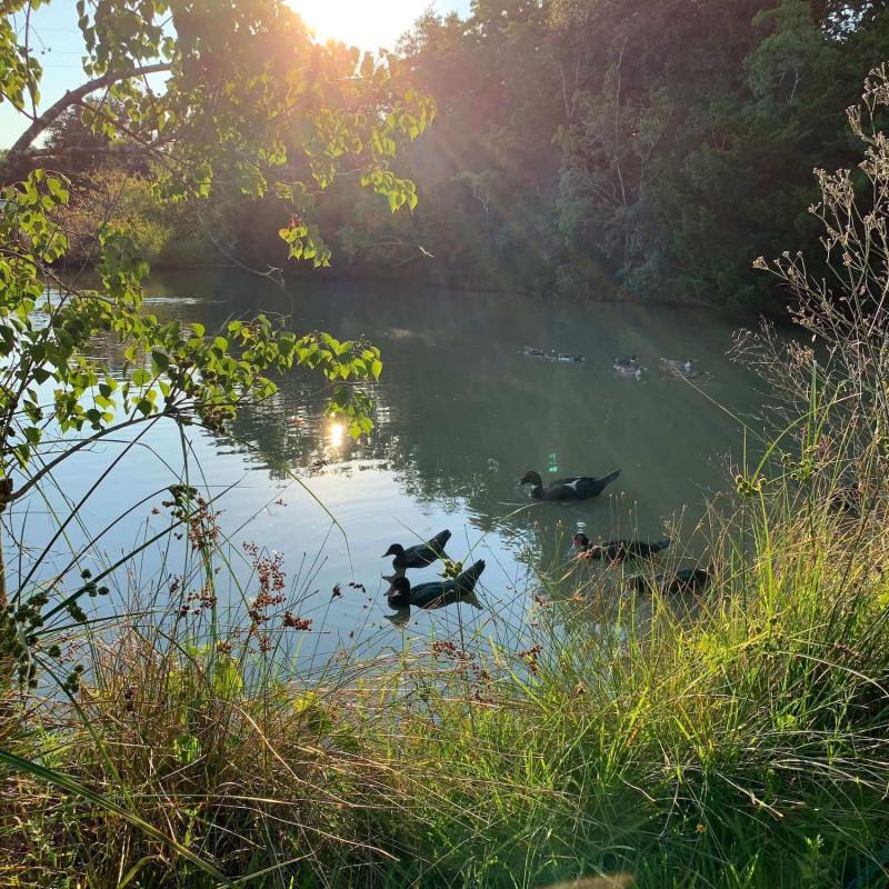 ducks-in-watr